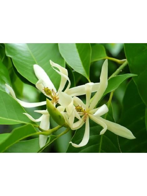 Magnolia essential oil champa white flower victorie inc mightylinksfo